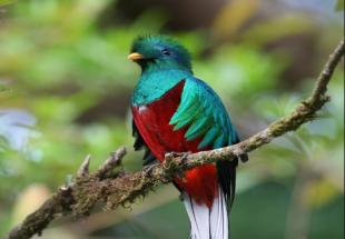 Quetzal, the emblematic bird of Costa Rica